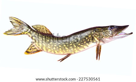 Fish pike - stock photo
