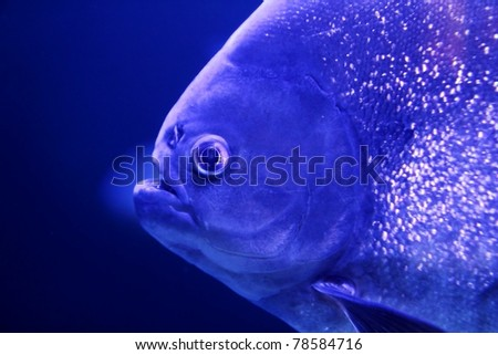 fish piranha macro face detail blue color water background - stock photo
