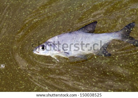 fish poisoned with the dying  green scum - stock photo