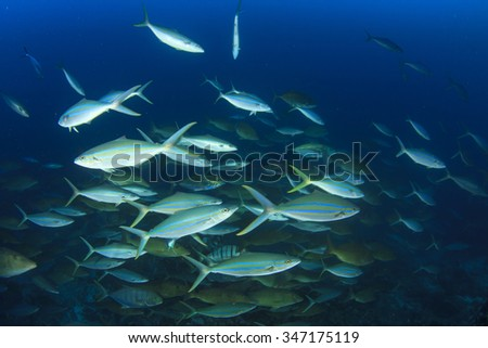 Fish predators hunting: mixed school of trevallies (jacks), rainbow runners, emperors and snappers