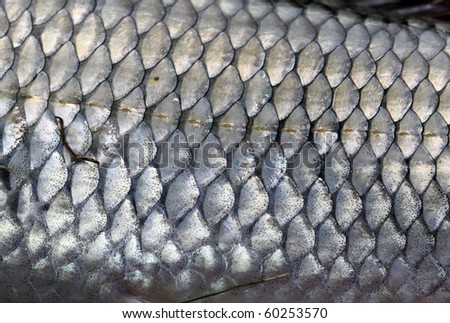 Fish Scales Macro (Fallfish) - stock photo