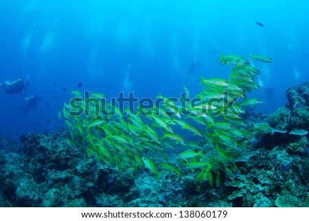 Fish School: Yellowfin Goatfish, similan island, Thailand.