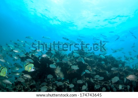Fish schooling in the Pearl islands - stock photo