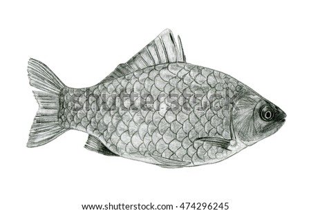 Fish sea bass sketch drawing