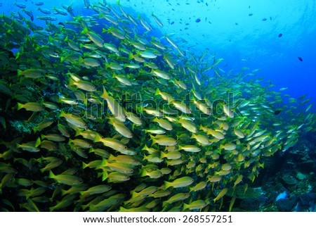 Fish shoal on coral reef (Bigeye Snappers) - stock photo