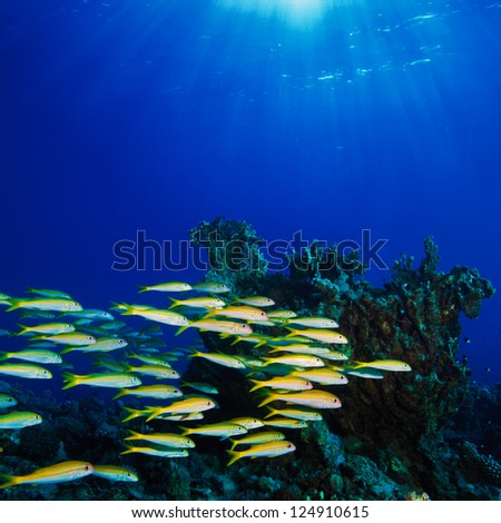 fish shoal swimming over beautiful coral reef under reflecting water surface with sunrays in corner - stock photo