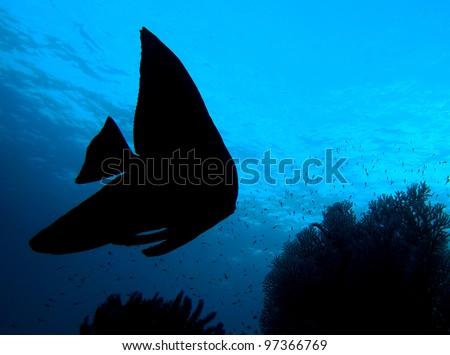 Fish silhouette, Longfin Batfish (Platax Teira) in indo-pacific ocean, Indonesia. - stock photo
