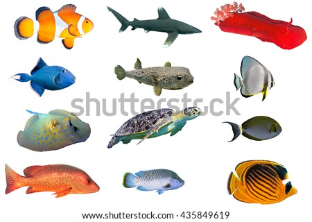 Fish species - index of red sea fish isolated on white - stock photo