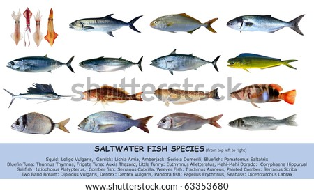 Fish species saltwater index classification seafood isolated on white [Photo Illustration] - stock photo