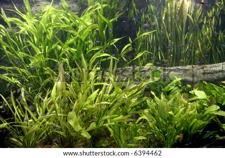 Fish tank with Neon Tetras - stock photo