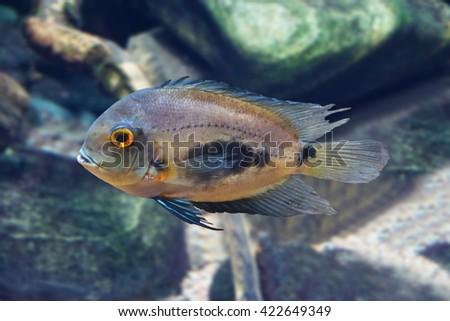 Fish Uaru - triangle cichlid - stock photo