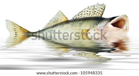 Walleye Fishing Pictures Fish Walleye Zander