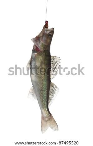 fish zander with bait on white background - stock photo