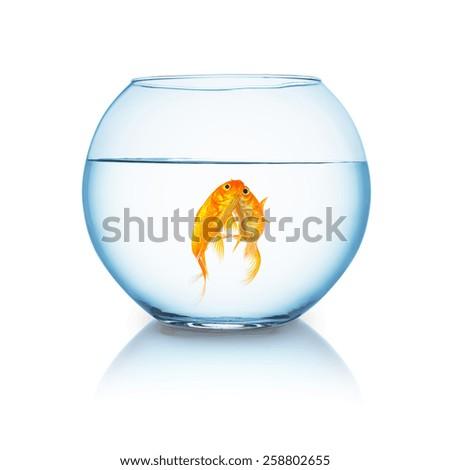 fishbowl with a kissing goldfish couple on white background - stock photo
