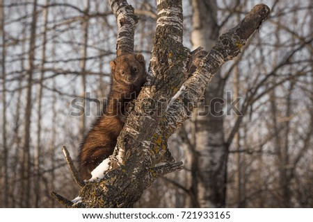 Fisher (Martes pennanti) Clings to Tree - captive animal