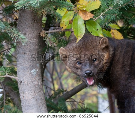 Fisher (Martes pennanti) close up, in pine tree, looking at the camera - stock photo