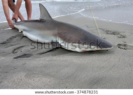 Fisherman caught the big copper shark on the beach at twilight. A tag and release fishing is popular in Namibia