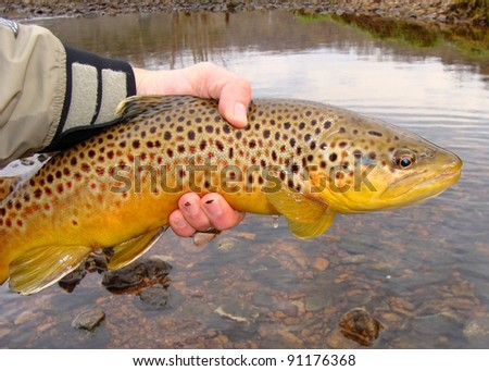 Fisherman holding a big fish - Brown Trout - prior to release - stock photo