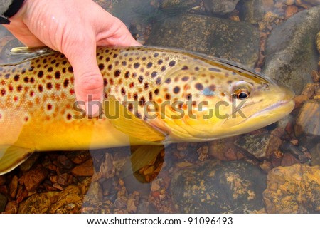 Fisherman holding a large fish, Brown Trout, caught fly fishing - stock photo