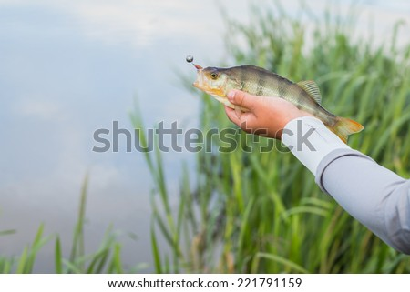 Fisherman holding a large perch.Man fisherman catches a fish. Fisherman in his hand holding spinning. Fishing, spinning reel, fish, Breg rivers. - The concept of rural getaway. Article about fishing.