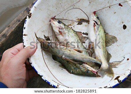 Fisherman in the Amazon hold a bowl of freshly caught catfish - stock photo