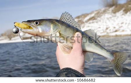 Fishermen holding walleye with bait in its mouth - stock photo
