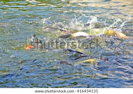 fishes jumping in the water, motion of fishes on the face of the river