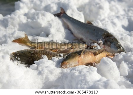 fishes on snow