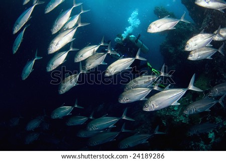 Fishes (tunas )and diver. Diving on Sipadan