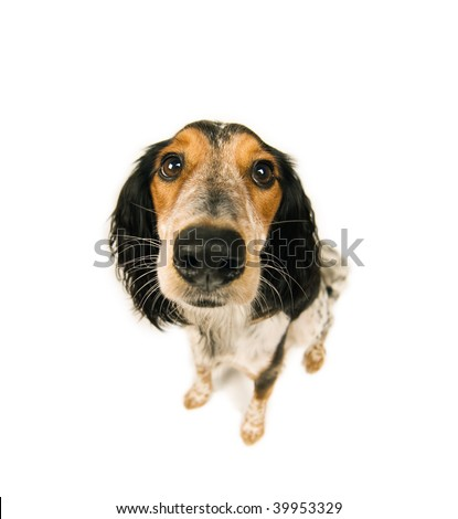 Fisheye fun; cute dog in funny perspective shot on white - stock photo