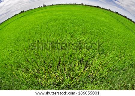 fisheye photo of green rice field - stock photo