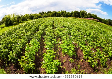 Fisheye view on the potatoes plantation in sunny summer day