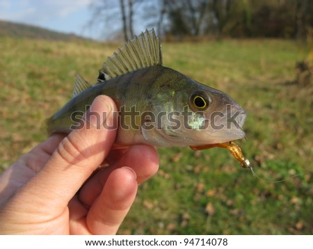 Perch on spinning jig on edible stock photo 454905073 for Edible freshwater fish