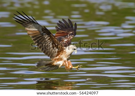 Fishing brahminy kite in the mangroves - stock photo