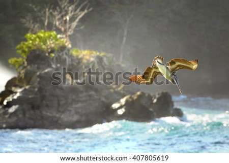 Fishing Brown Pelican, Pelecanus occidentalis flying vertically down to the sea against wild shore of Tobago island. - stock photo