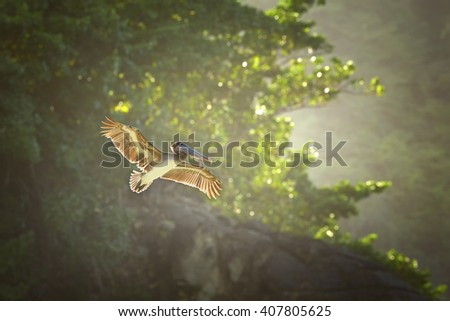 Fishing Brown Pelican, Pelecanus occidentalis flying  with outstretched wings, illuminated by afternoon sun, against coastal forest of Tobago island. Wildlife photo. - stock photo
