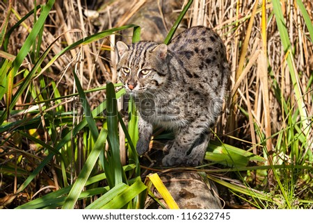 Fishing Cat Hunting in Long Grass Prionailurus Viverrinus - stock photo