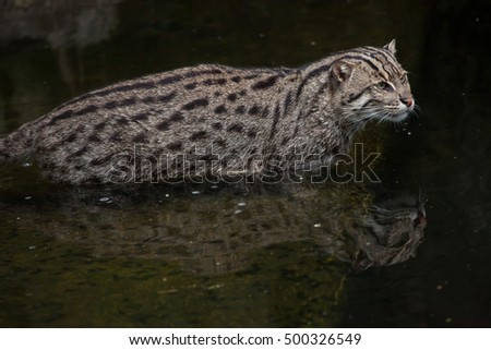 Fishing cat (Prionailurus viverrinus). Wildlife animal.