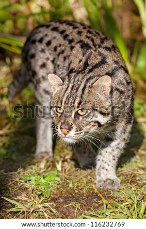 Fishing Cat Prowling in Afternoon Sunshine Prionailurus viverrinus - stock photo