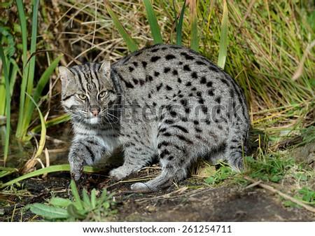 Fishing Cat, soft focus - stock photo