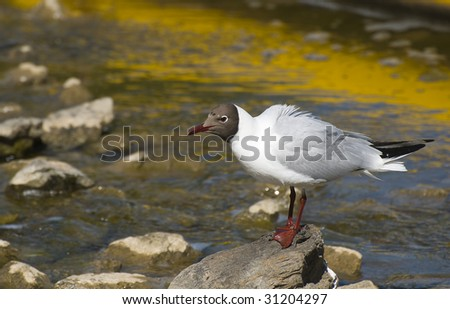 Fishing gull - stock photo