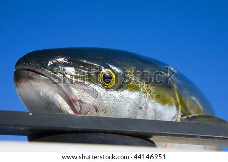 Fishing off the coast of San Carlos for Yellowtail in the Gulf of California in Senora Mexico. - stock photo