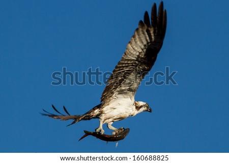 Fishing Osprey - stock photo