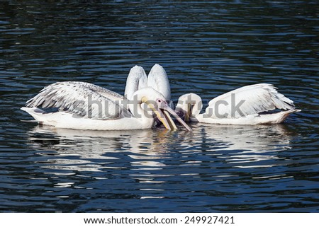 Fishing Party. Three lovely pelicans probe the water for fish. - stock photo
