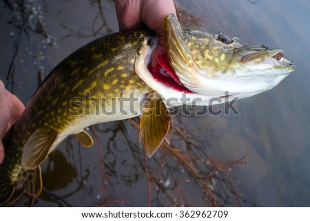 Fishing Pike brings to angler lot of emotion and excitement - stock photo