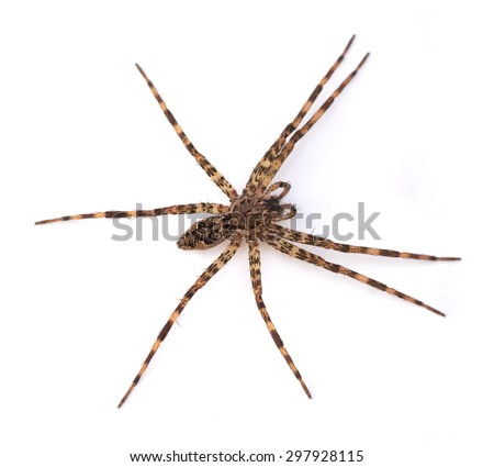 Fishing Spider (Dolomedes tenebrosus) on a white background - stock photo