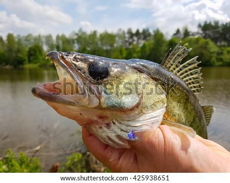Fishing. Zander  in the hand of the fisherman. - stock photo