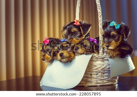 Five adorable little Yorkshire terrier dog puppies with head fur tied with colorful bows resting in a basket. - stock photo