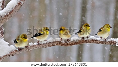 Five American Goldfinches (Carduelis tristis) on a snowy branch. - stock photo