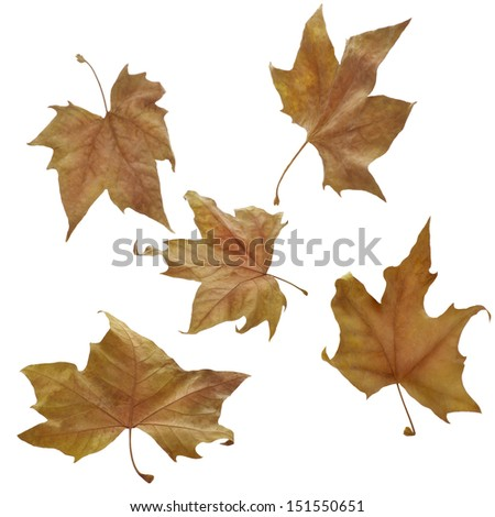 Five autumnal leaves on white background. Clipping path - stock photo